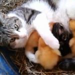 Mačka usvojila odbačeno pače - Mačka usvojila odbačeno pače