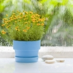 Cveće koje pročišćuje vazduh u prostoriji - cveće koje pročišćava vazduh u prostoriji