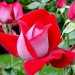 Zarada od ruža 900.000 evra - Zarada od ruža 900.000 evra