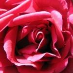 Cvetanje ruže - Cvetanje ruže