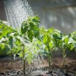 Biljke krive za smrtnost tokom vrućina - Biljke krive za smrtnost tokom vrućina